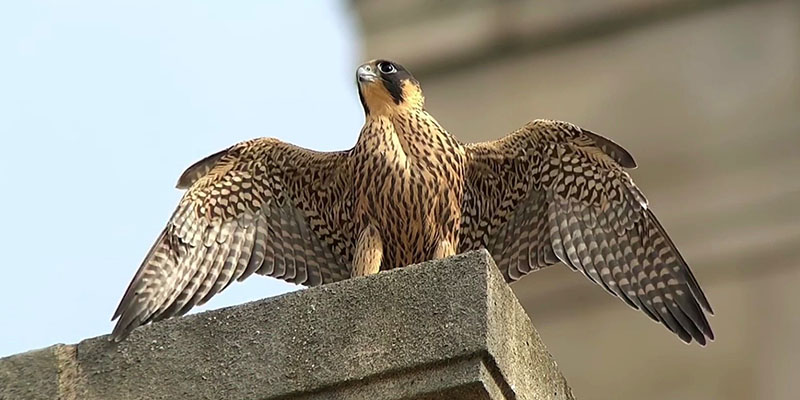 Peregrine falcon, Parkinson Building, University of Leeds. Credit: @leedsbirder