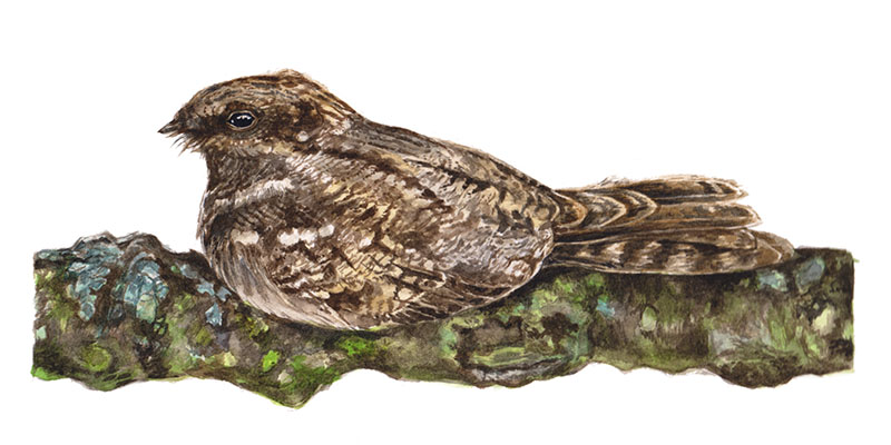 Nightjar Nights